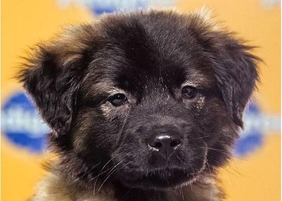 Labrador Retriever Collie Mix